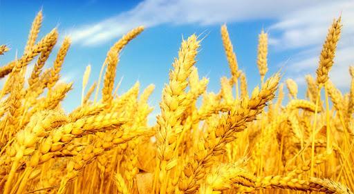 اجرای طرح یاوران تولید با محوریت گندم دیم در آذربایجانشرقی